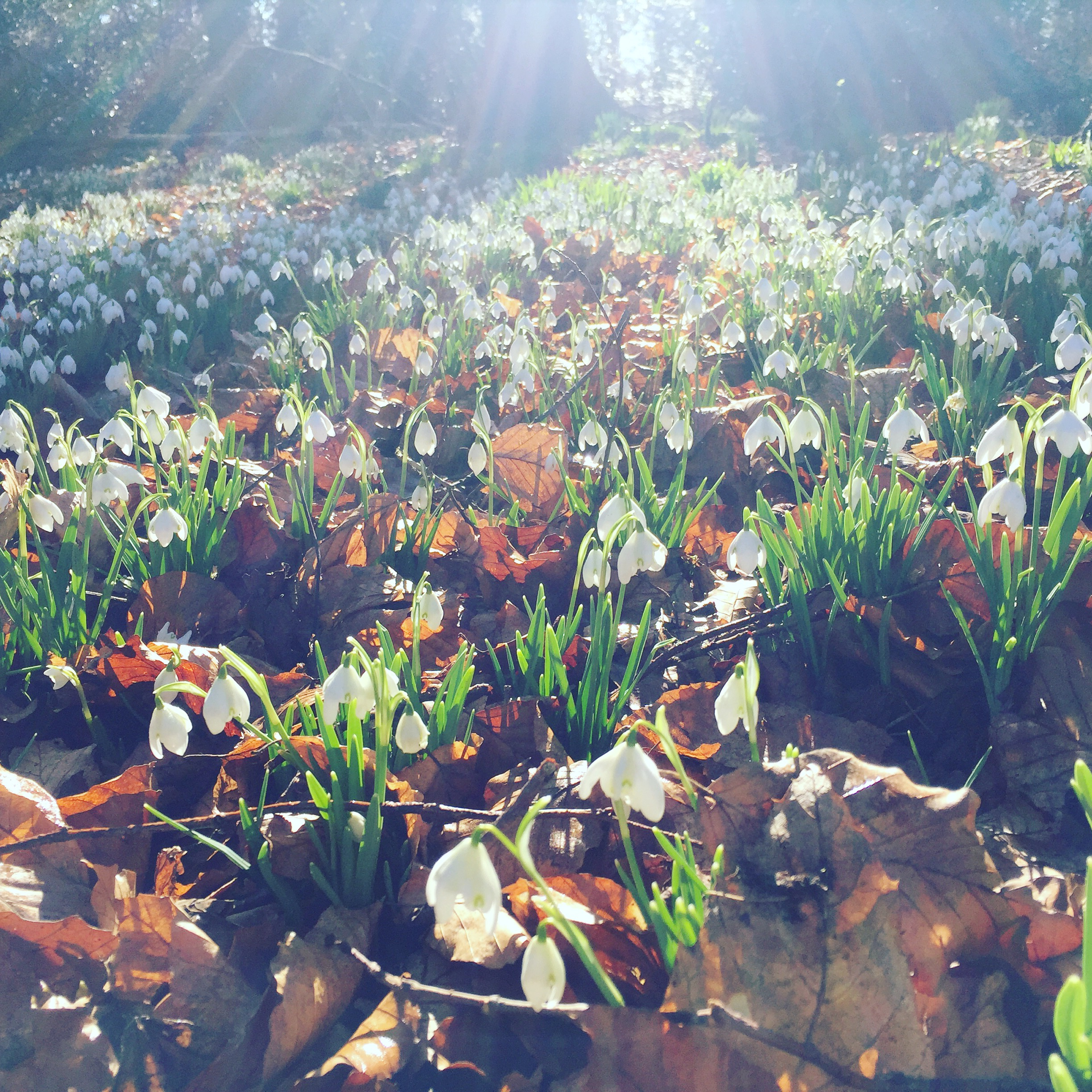 Bed of Snowdrops